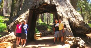 California Giant Sequoias and Coast Redwoods