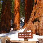 Mariposa Grove of Giant Sequoia Trees