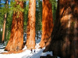 The Mariposa Grove of Giant Sequoias