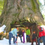 Tunnel Tree in Tuolumne Grove of Giant Sequoias